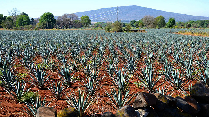 Blue agave field in Los Altos